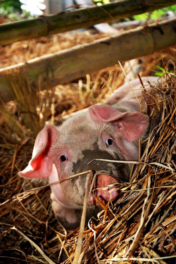 Pig Day!